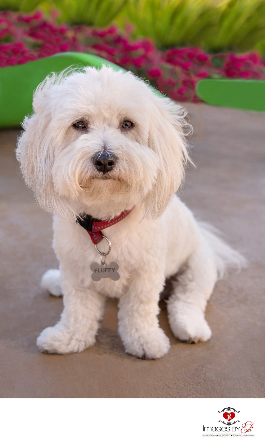 Las Vegas Pet Photographer | Pet Photography at home garden| Images By EDI | Photo of Coton de Tulear boy