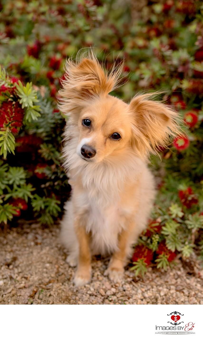 Las Vegas Pet Photographer | Pet Photography | Pet Photos | Images By EDI | Papillon
