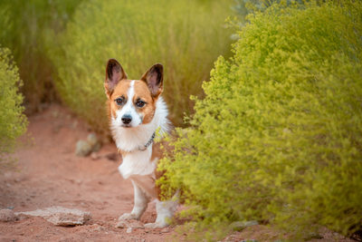 Las Vegas Pet Photographer | Corgi Picking Out From Behind the Bushes | Images By EDI