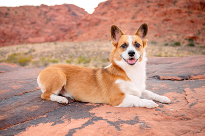 Las Vegas Pet Photographer | Corgi laying down on Red Rock | Dog Photography | Images By EDI
