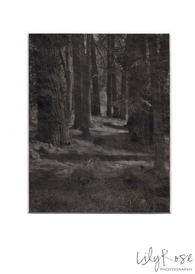 Platinum 4x5 on Vellum Forrest through the Trees