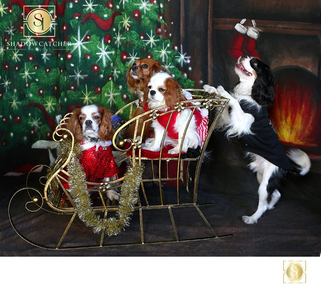 Holiday Pet Portraits in the San Diego Area