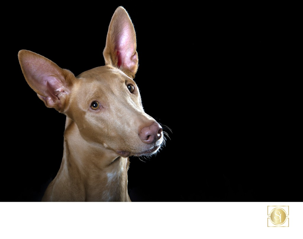 Pharaoh Hound photo