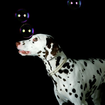 Dalmatian Puppy playing with bubbles at Shadowcatcher