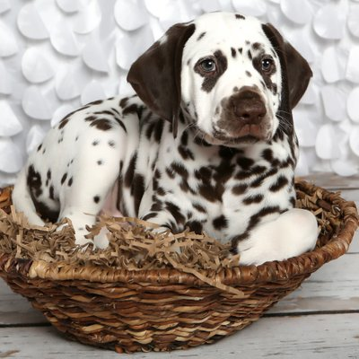 Dalmatian Puppy Easter Photo Session