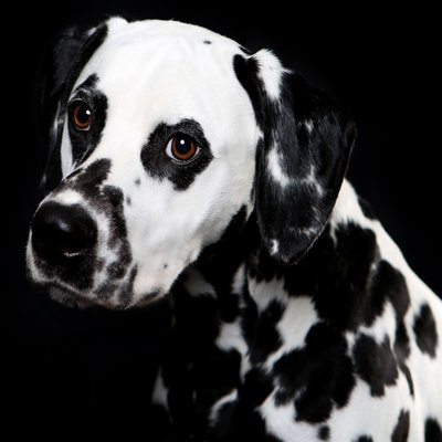 Studio Dog Portrait of a Dalmatian named Finnegan