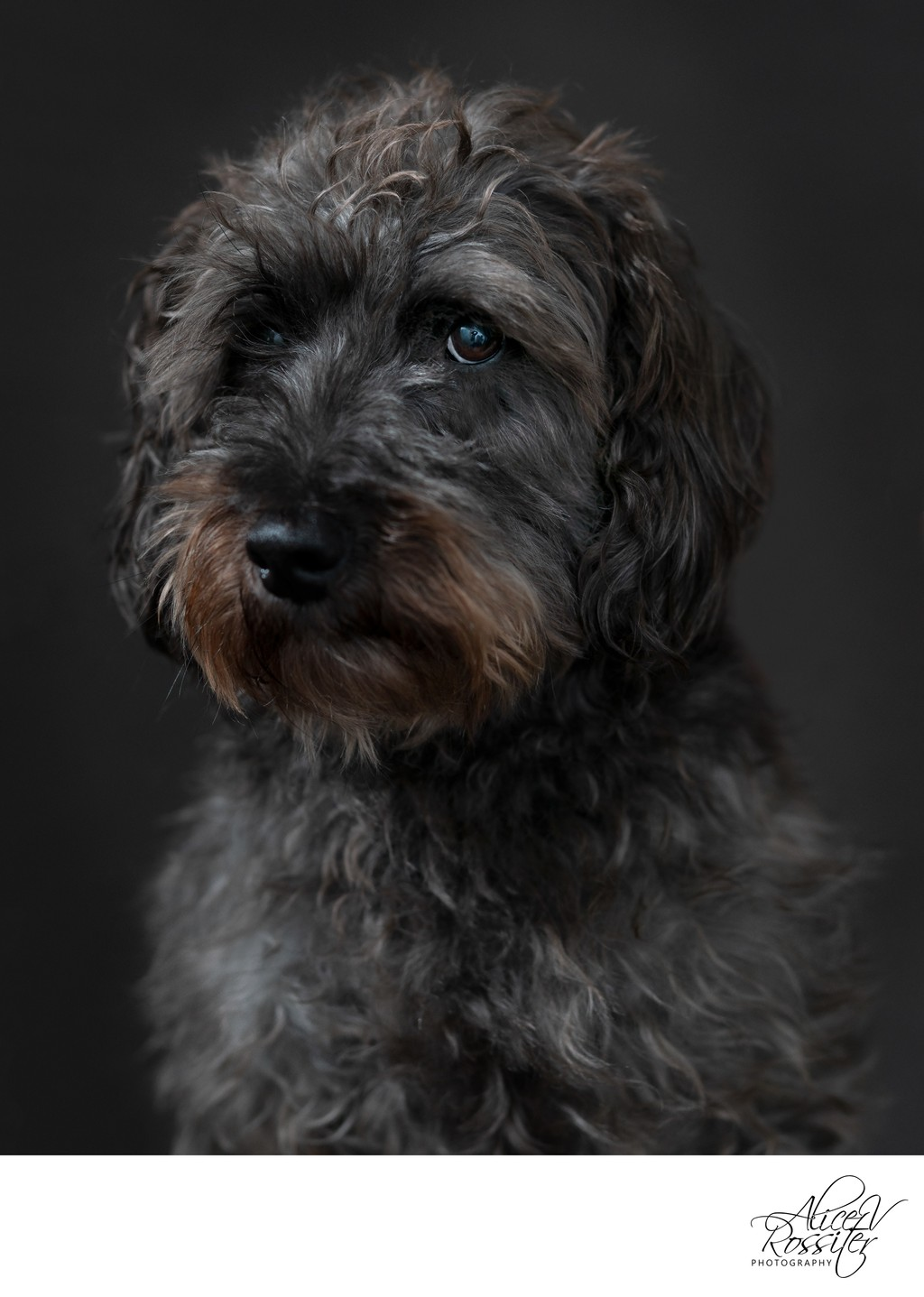 Dog Studio Portraits