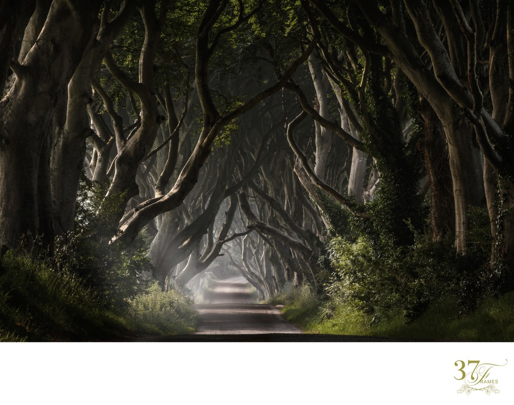Morning Mist at The Dark Hedges