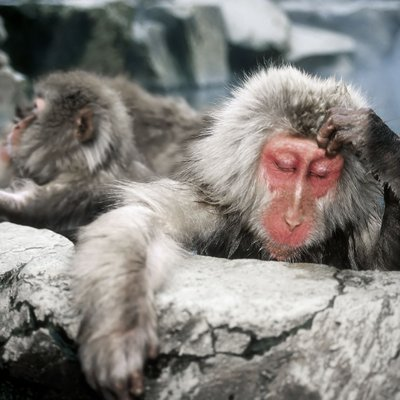 Snow Monkeys in Japan in the Hot Springs