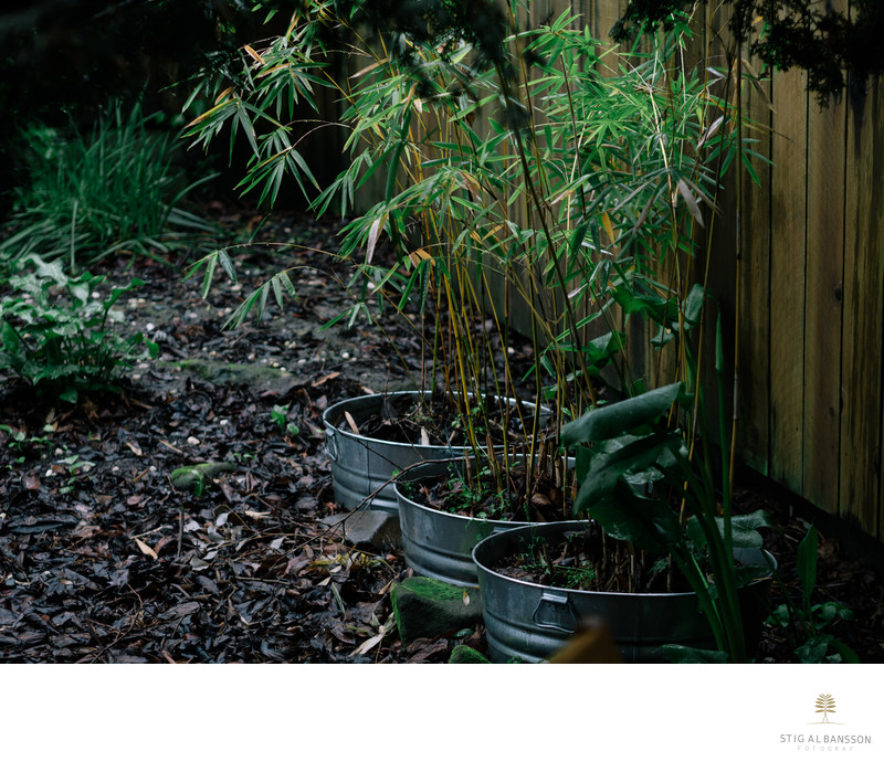 Bamboo plants in metal pots in the garden