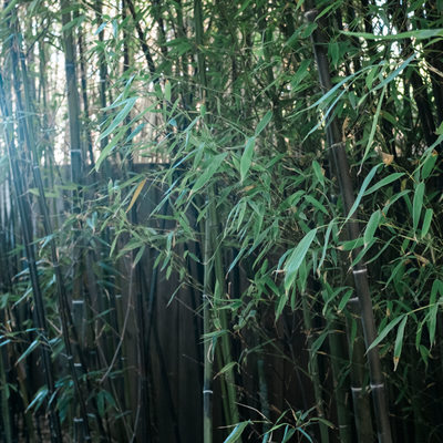 Bamboo in the garden of the Zen Garden House
