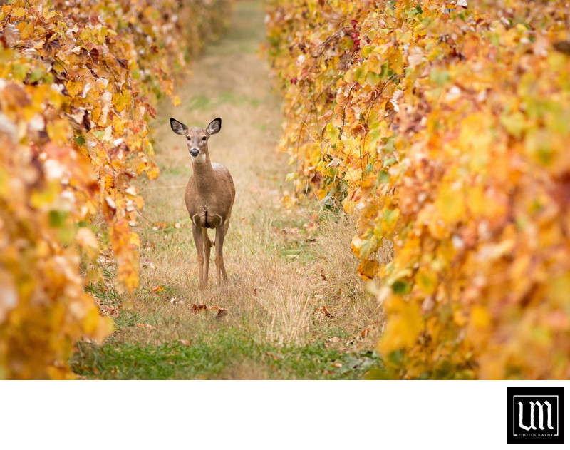 Whitetail doe in vineyard