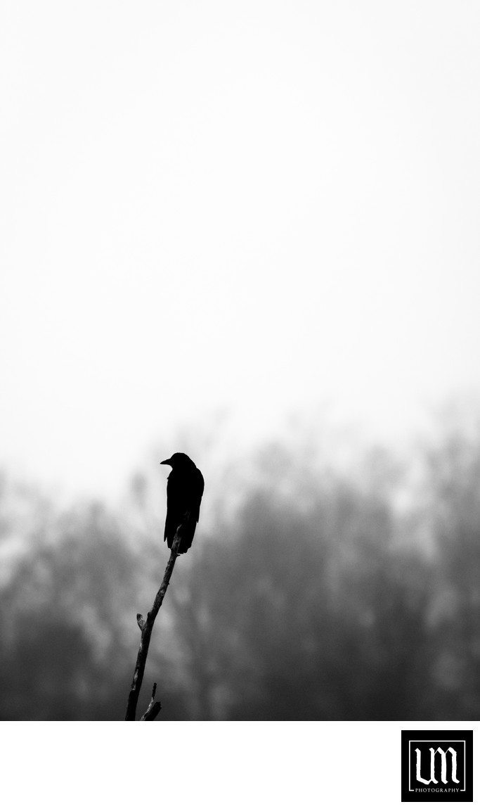 Perched crow silhouette