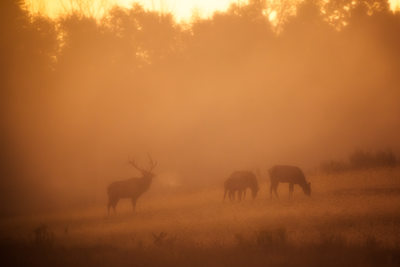 Elk at sunrise in dense fog