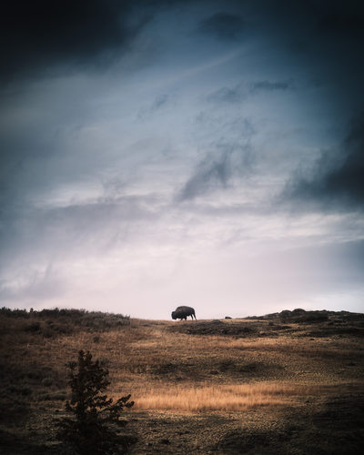 Lone bison grazing in Yellowstone