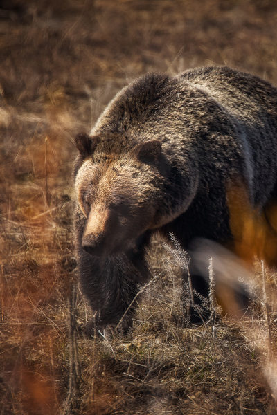 Grizzly Bear up close in Grand Teton National Park