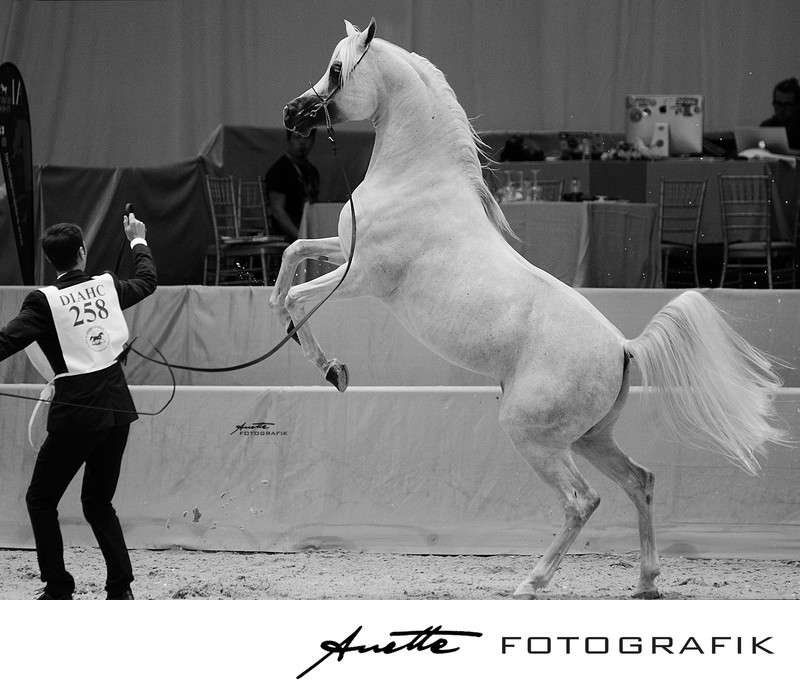 Dubai Arabian Horse Stallion Photography