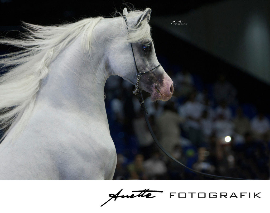 Arabian Horse stallion photographer