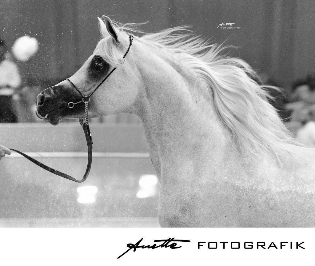Arabian Horse Champion photography