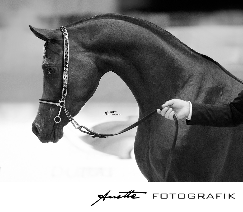 Arabian Horse Show Photography