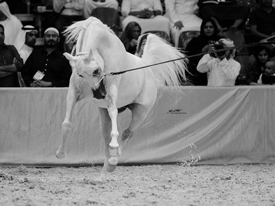 Arabian horse stallion photography