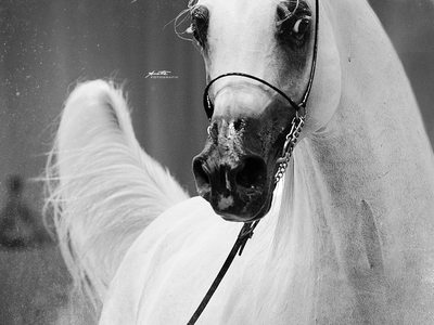Documentary arabian horse photography