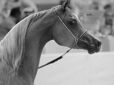 Dubai arabian horse photography