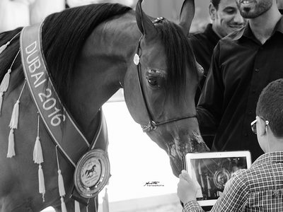 Arabian horse gold champion photographer