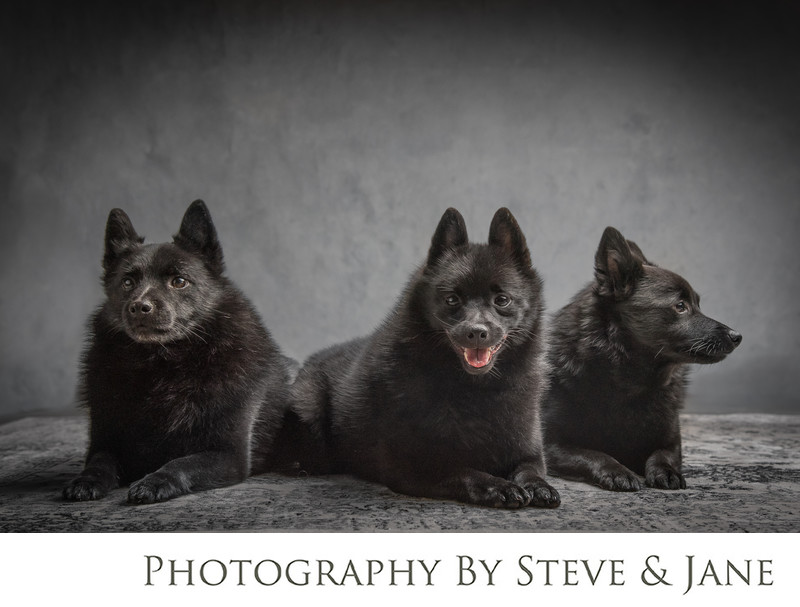 Schipperke fine art dog photography dc metro area