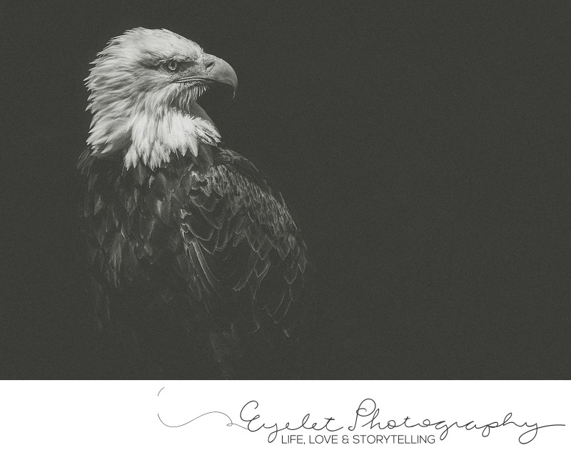 Rescued Alberta Birds Of Prey Bald Eagle Photography