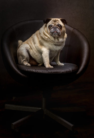 Pug Dog in a chair photo