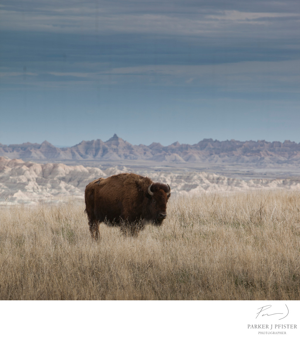 lone bison 01