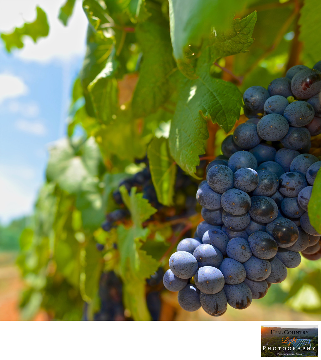 Tannat grapes William Chris Hye Estate Vineyard Hill Country Wine Harvest
