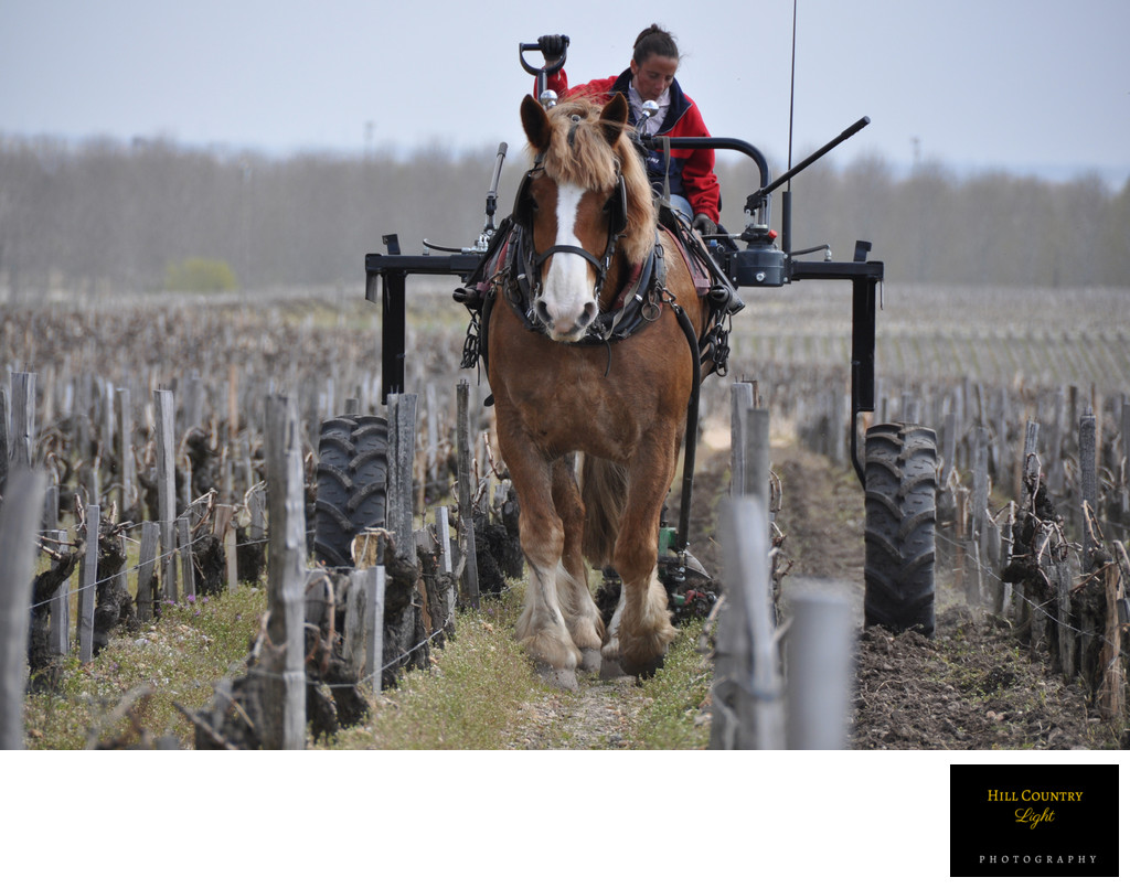 Horse in Vineyard Chateau Pontet-Canet Pauillac Bordeaux