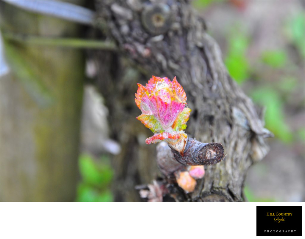 Bud Burst, Chateau Haut Brion Old Vine Cabernet Bordeaux