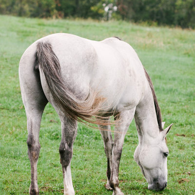 Gray Horse Grazing