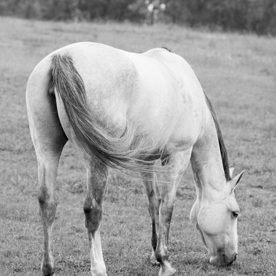 Gray Horse Grazing in Black and White