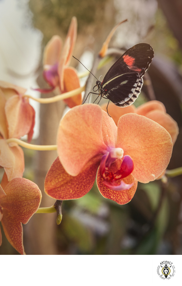 Postman Butterfly with Orchid