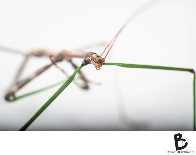 Stick Bug Macro Portrait