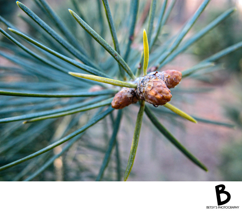 Pine Tree Needles Up Close.  Dexter, MI Fine Art Print