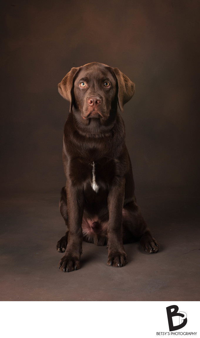 Studio Pet Portrait - Chocolate Labrador Retriever