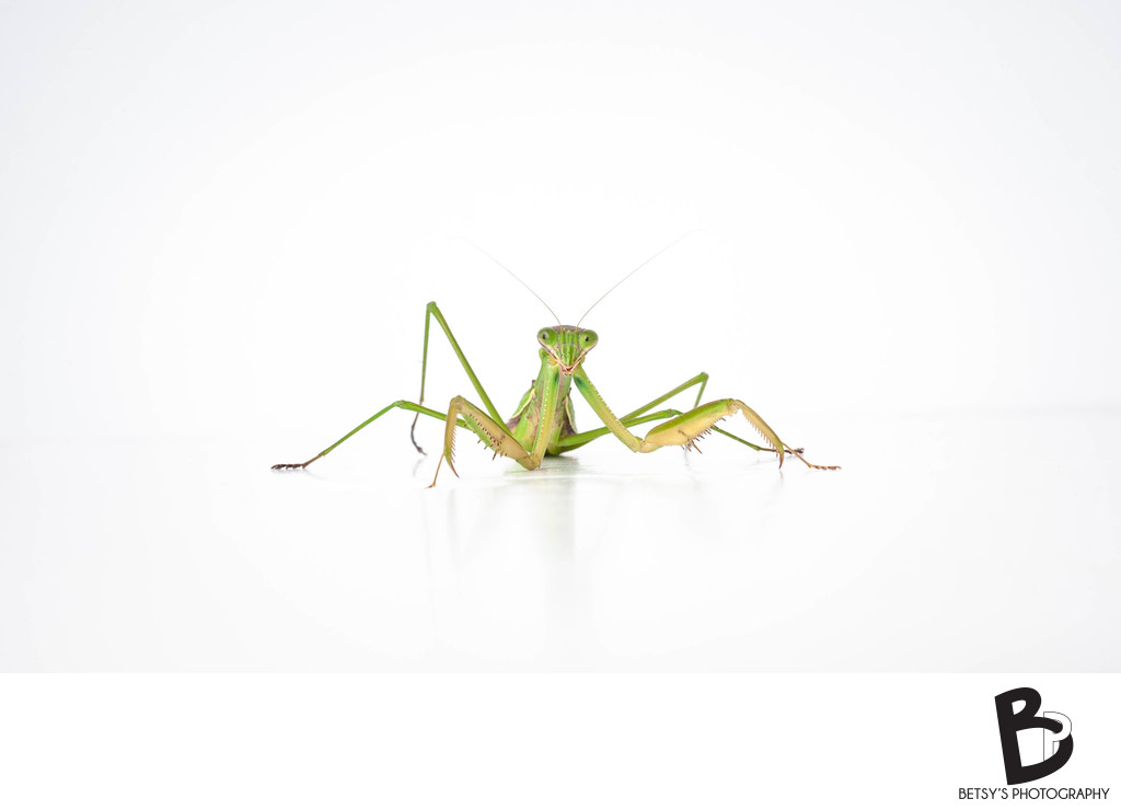 Praying Mantis (Insect Macro Photo)