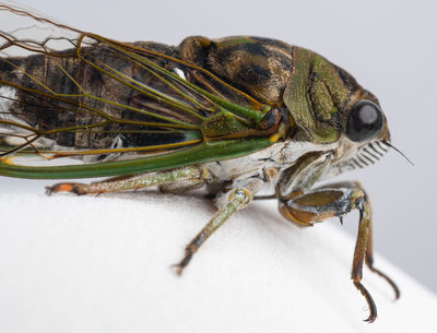 Macro Photograph of Michigan Cicada