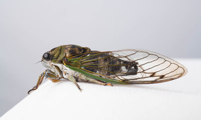 Michigan Cicada Photograph