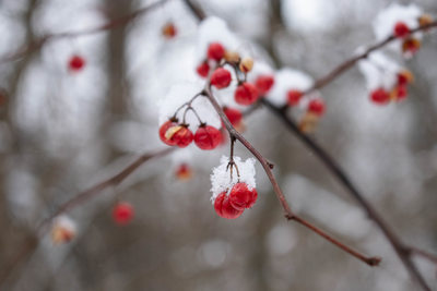 Bittersweet Berries in Winter