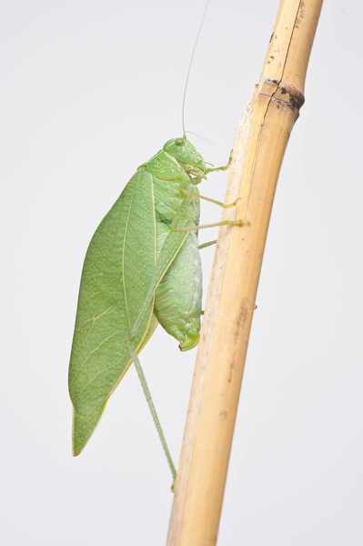 Closeup Photo of Katydid Insect