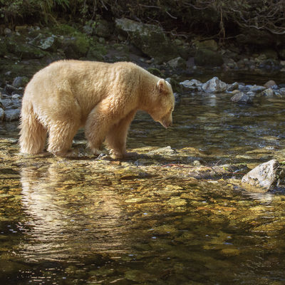 White Spirit Bear, Reflection