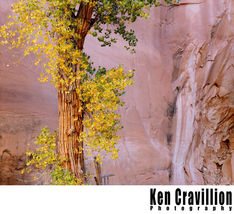 Cottonwood Tree Sandstone Escalante Utah Photo