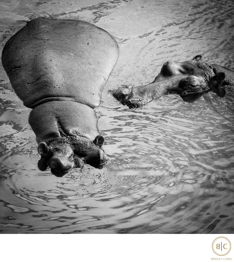 Black and White Photograph Hippo in Elephants River Kruger Park South Africa