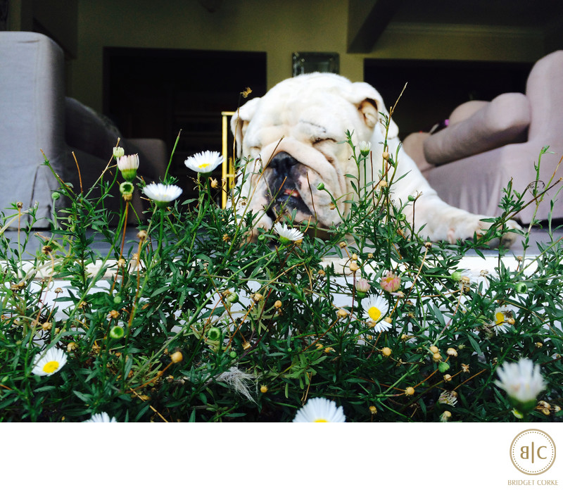 iPhone Family Photograph Taken By Bridget Corke Of Her Bulldog Princess Leia in Johannesburg